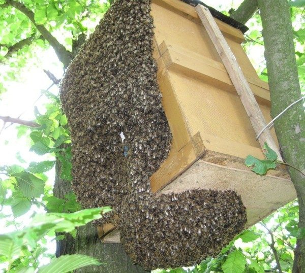 Роение пчел и меры его предупреждения, отлов роя пчел, искусственное роение