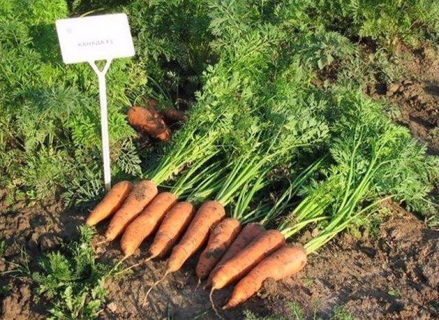 Морковь Канада: описание сорта, фото, отзывы, выращивание