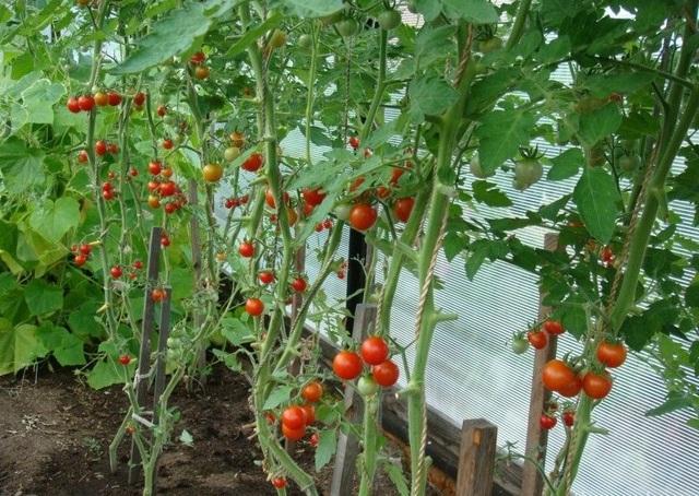 Помидоры черри: описание с фото, сорта, выращивание, уход, отзывы