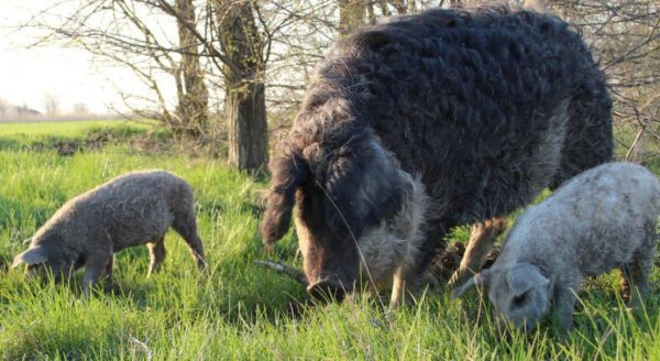 Порода свиней Венгерская Мангалица: описание, фото, содержание и разведение, отзывы