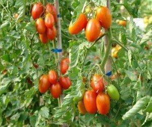 Томат Маруся: характеристики сорта, фото, выращивание из семян и рассады, уход и отзывы