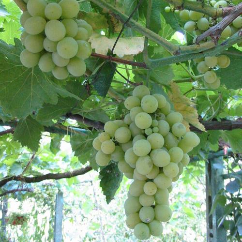 Сорта винограда для вина: описание, фото, характеристики