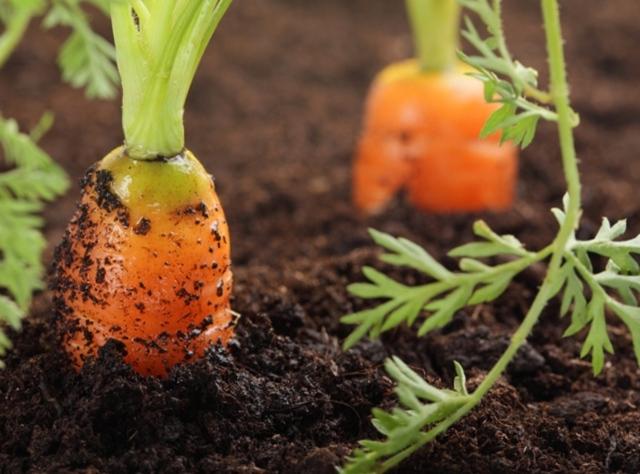 Полив моркови: нормы, правила и частые ошибки