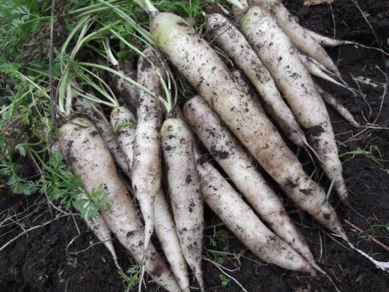 Белая морковь: описание, сорта, правила выращивания, отзывы огородников