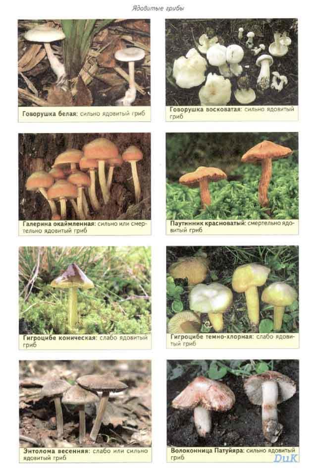 энциклопедия съедобных грибов фото и название и описание перестало оказывать