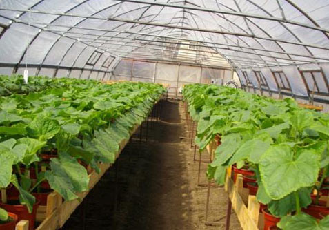 Выращивание кабачков в теплице: сроки и способы посадки, уход, сбор урожая