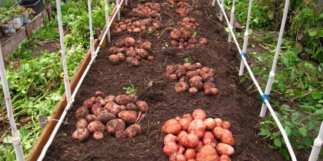 Картофель Розара: описание сорта, фото, правила посадка, выращивания и ухода за клубнем