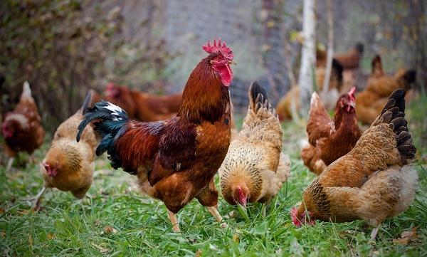 Кучинская юбилейная порода кур: характеристика, содержание и уход, разведение цыплят