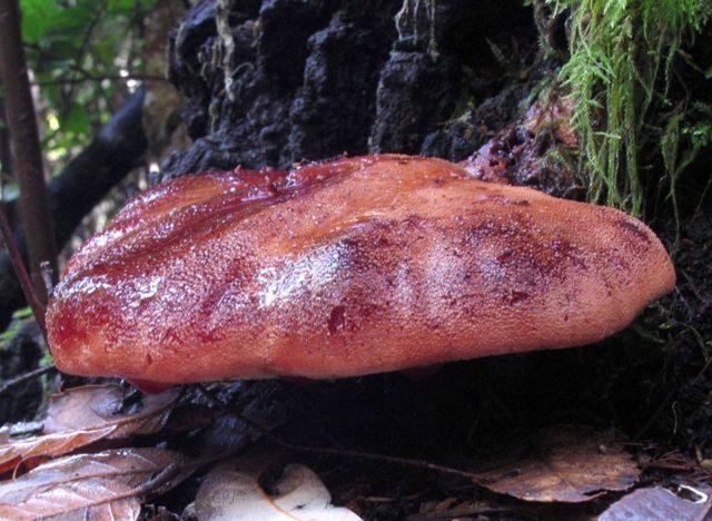 Грибы волнушки: описание, полезные свойства, выращивание, приготовление