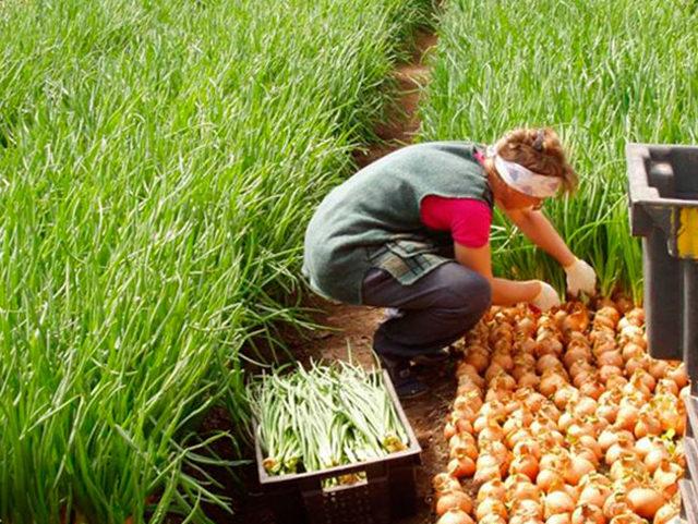 Выращивание лука на перо в домашних условиях: технологии посадки и уход