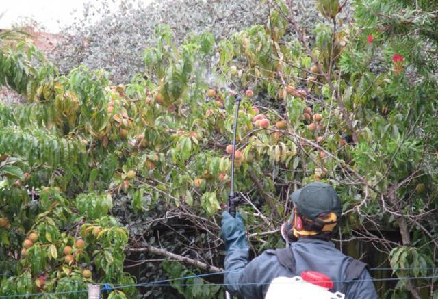 Курчавость листьев персика: методы борьбы и профилактики