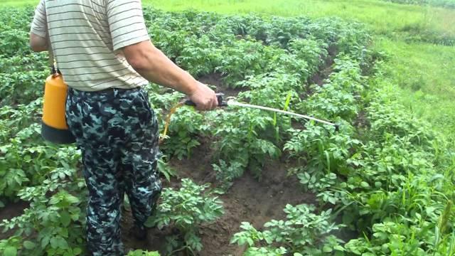 Сорт картофеля Ильинский: описание, фото, выращивание, уход, отзывы