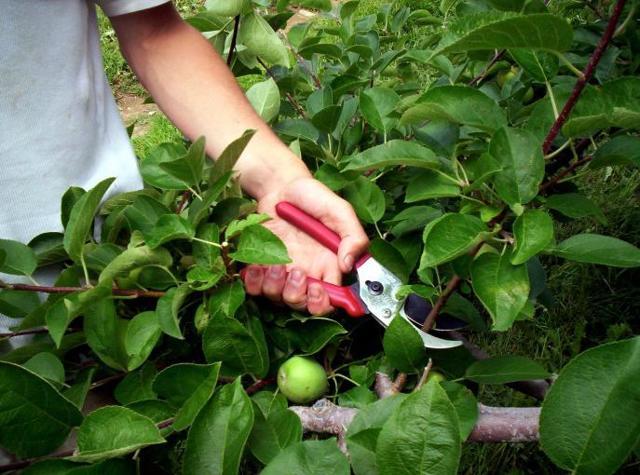 Груша Мраморная: описание сорта, фото, правила выращивания, отзывы