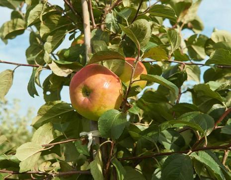Сорта яблонь для Подмосковья: названия, описание, фото