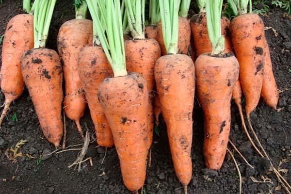Морковь Шантанэ: описание сорта, фото, выращивание, отзывы