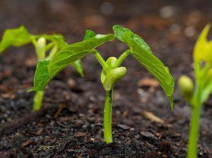 Выращивание бобов в открытом грунте: сорта, сроки, посадка и уход