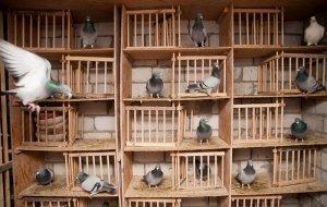 Гнезда для голубей своими руками: формы, материалы, инструкции по изготовлению