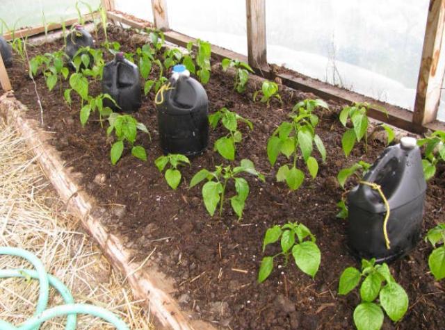Выращивание перца в теплице: посадка, уход, формирование куста