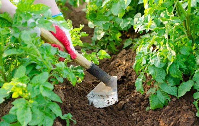 Картофель Адретта: описание посадки, выращивания и ухода