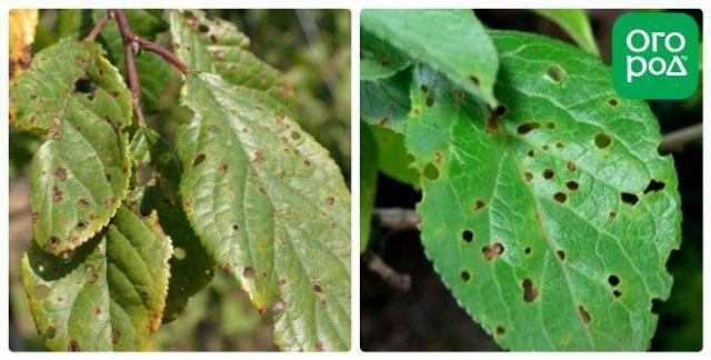Болезни сливы с описанием и фото: вирусные, грибковые, паразитарные