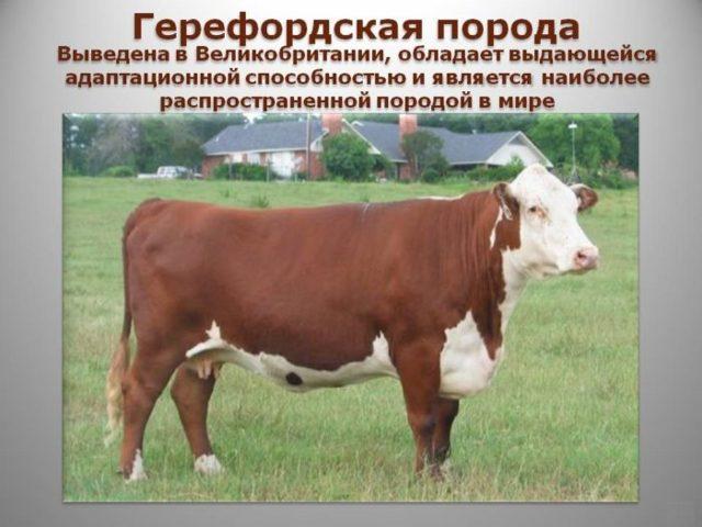 Холмогорская порода коров: характеристика, фото, продуктивность, уход, содержание и разведение