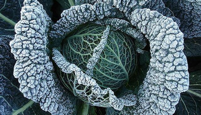 Ранняя капуста: лучшие сорта, правила выращивания и сбор урожая