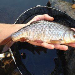 Плотва: описание рыбы, ареал обитания, ловля и выращивание