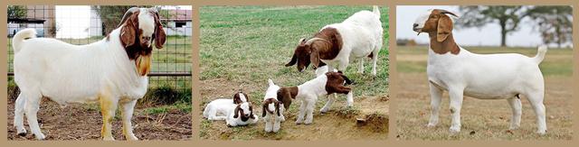 Бурские козы: описание породы с фото, продуктивность, содержание, уход и разведение