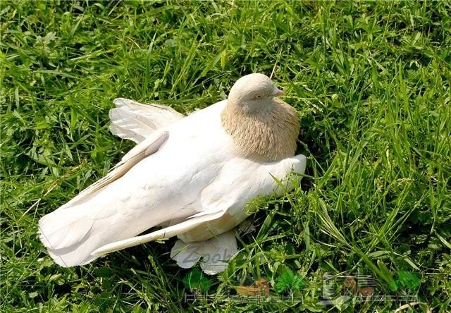 Голуби агараны (туркменские): описание бойной породы с фото, экстерьер, отзывы