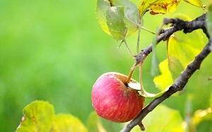 Сорта яблонь с фото и описанием: 30 лучших сортов
