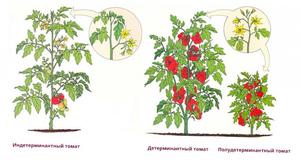 Низкорослые сорта томатов для открытого грунта: описание и характеристики