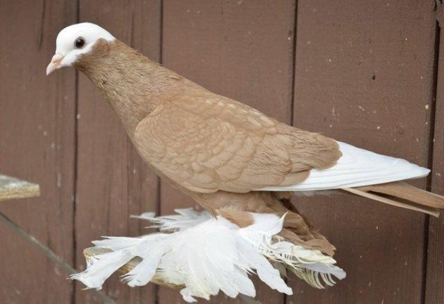 Армавирские голуби: описание, разновидности пород, содержание и уход