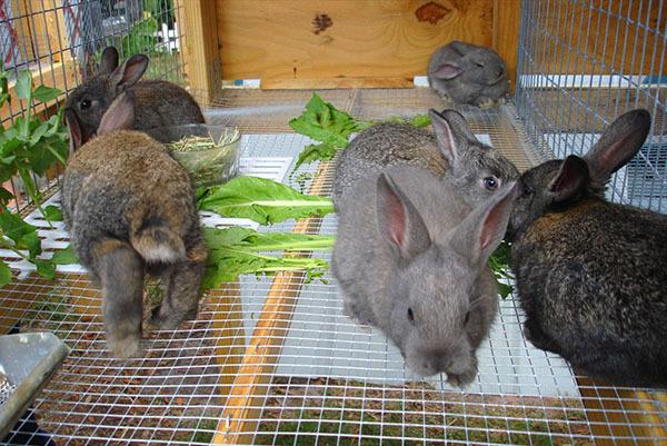 Когда отсаживать крольчат от крольчихи: возраст, требования, место отсадки