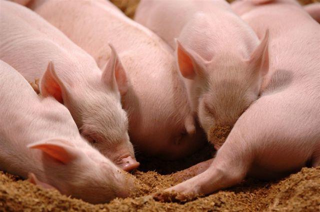 Кормление супоросных свиноматок: рацион на разных этапах супоросности
