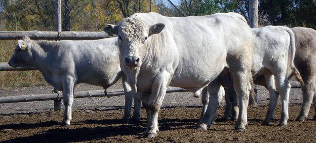 Самые лучшие породы коров: обзор ТОП-15 пород, их сравнительные характеристики