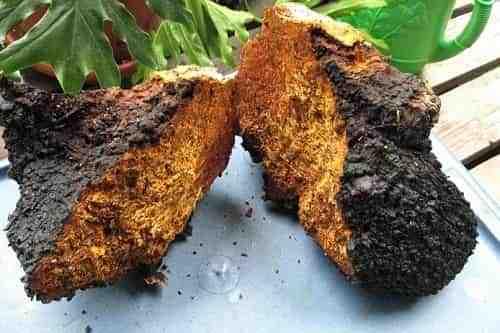 Чага (березовый гриб): внешний вида, где и когда собирать, польза