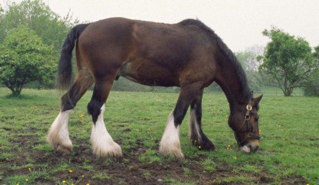 Тяжеловозные породы лошадей: самые сильные кони
