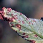 Слива Евразия: описание сорта, фото, правила выращивания