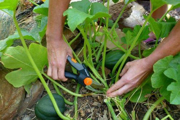 Выращивание тыквы в открытом грунте: правила и советы