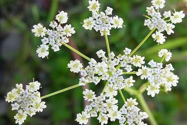 Выращивание нута: популярные сорта, посадка и уход, сбор и хранение урожая