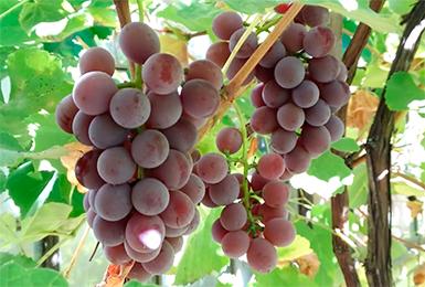 Виноград Лидия: описание сорта, фото, посадка, уход и отзывы