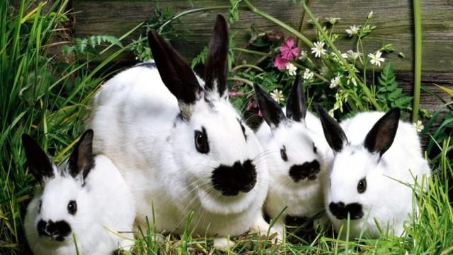 Кролик Бабочка: описание породы, фото, разновидности, содержание, отзывы