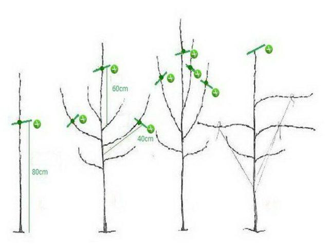 Как и когда обрезать плодовые деревья: возраст, время года, правила
