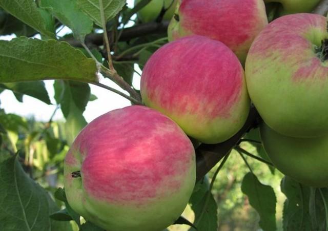 Болезни яблонь: описание, борьба с ними, профилактика