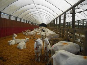 Разведение коз в домашнем хозяйстве для начинающих