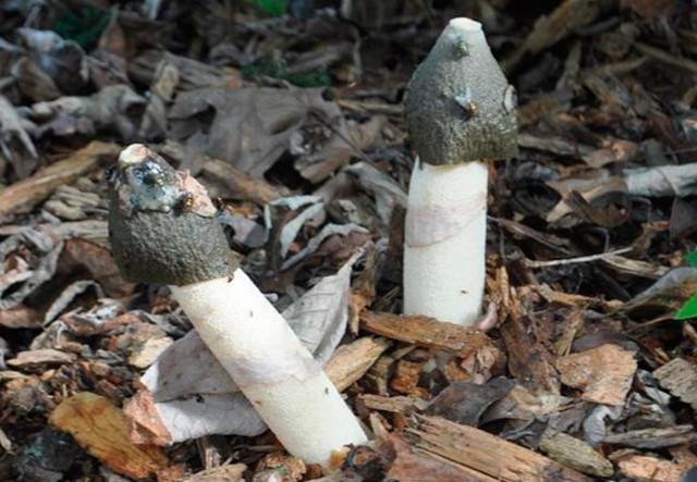 Сморчки и строчки: как отличить? Сходства и различия грибов