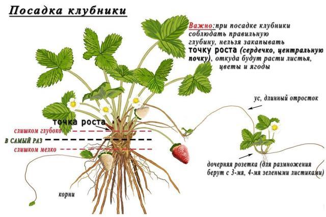Клубника Зенга Зенгана: описание сорта, фото, правила выращивания и ухода