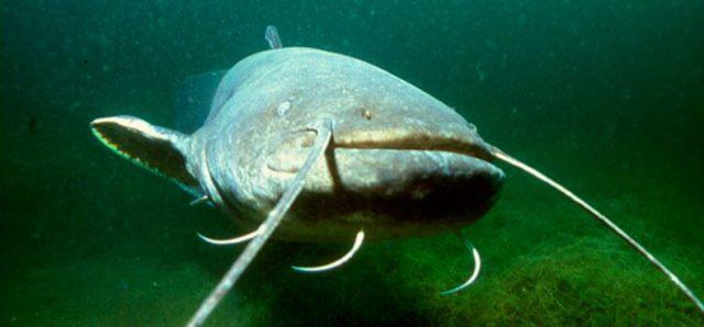 Сом: описание рыбы, образ жизни, питание, нерест, рыбалка, виды, выращивание