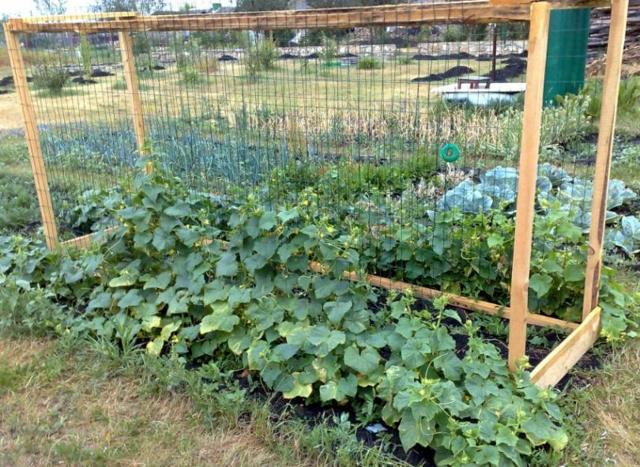 Выращивание огурцов в открытом грунте: посадка и уход за рассадой, окучивание и подкормки, сбор урожая