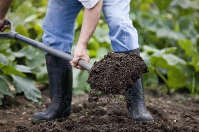 Лук Эксибишен: характеристики сорта, посадка и уход, сбор и хранение урожая